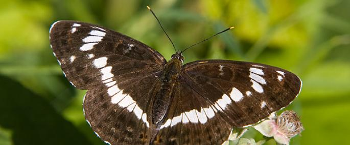 White admiral butterfly - Keith Warmington - Keith Warmington
